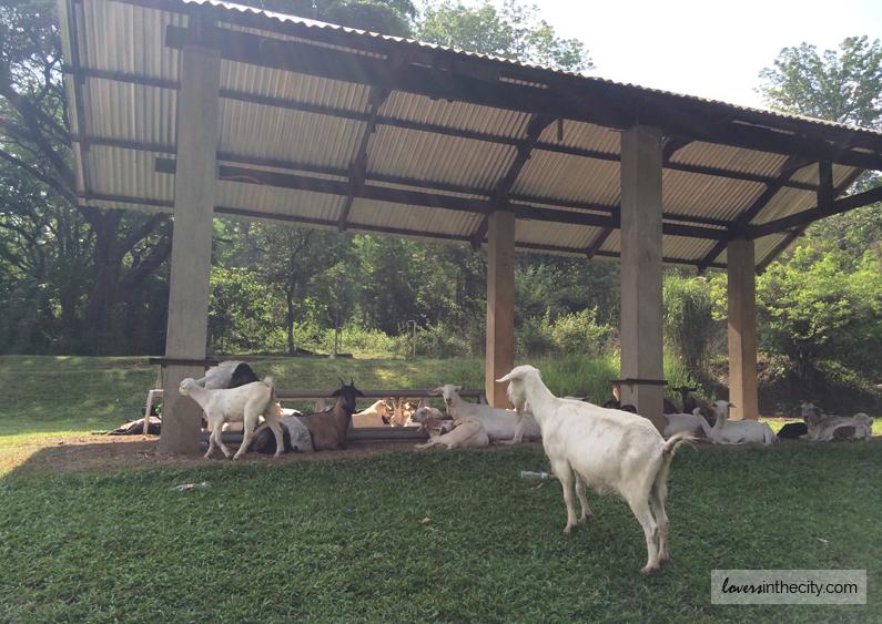 Watching the Wandering Goats at Falcon Crest Norzagaray Bulacan